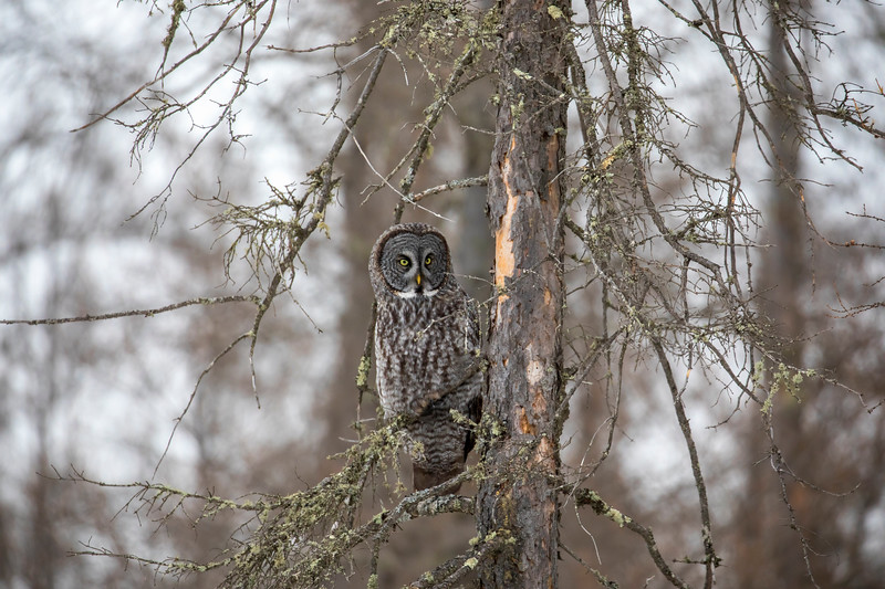 Great Gray Owl 82 (12-20-2017)