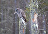Great Gray Owl 49 (12-20-2017)