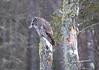 Great Gray Owl 49 (12-20-2017)