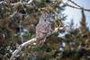 Great Gray Owl 23 (12-20-2017)