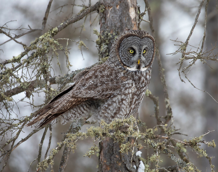 Great Gray Owl 74 (12-20-2017)