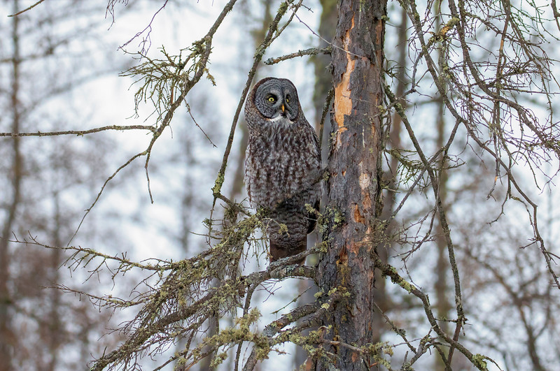 Great Gray Owl 80 (12-20-2017)