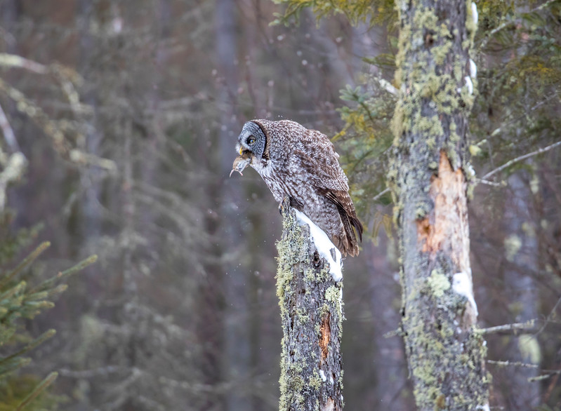 Great Gray Owl 54 (12-20-2017)