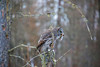 Great Gray Owl 38 (12-20-2017)
