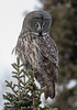 Great Gray Owl 15 (12-20-2017)