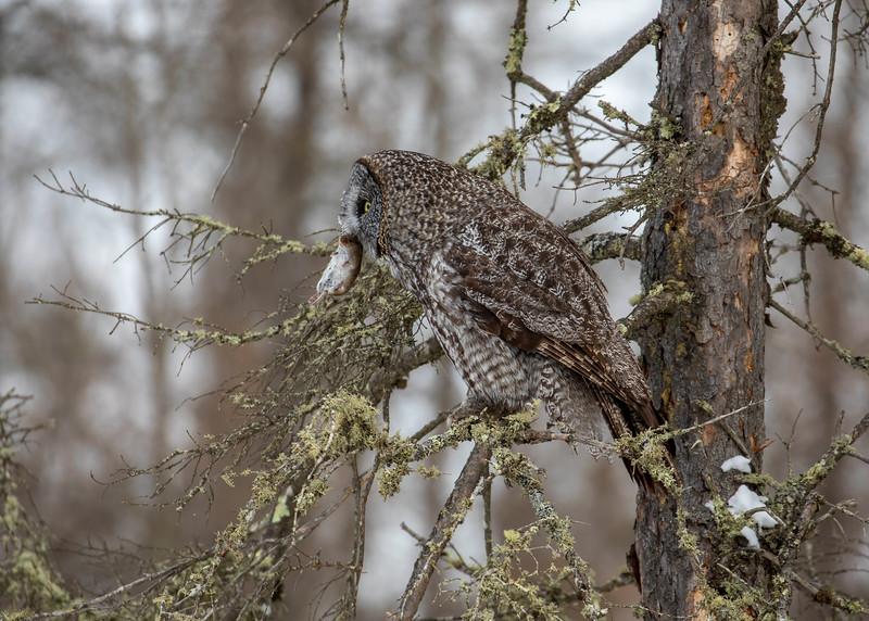 Great Gray Owl 75 (12-20-2017)