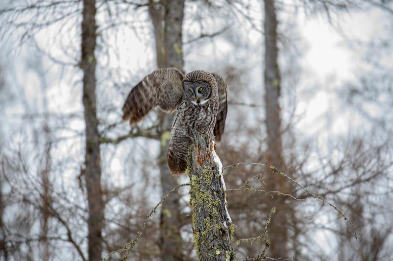 Great Gray Owl 42 (12-20-2017)