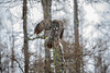 Great Gray Owl 42 (12-20-2017)