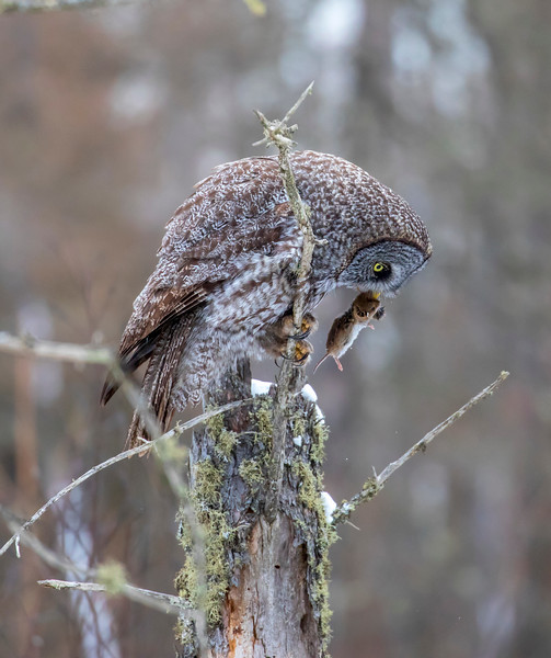 Great Gray Owl 39 (12-20-2017)