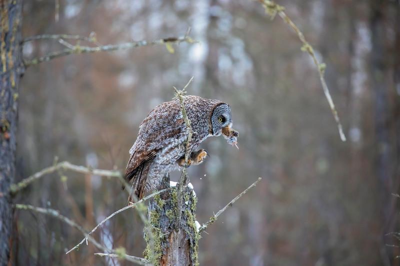 Great Gray Owl 36 (12-20-2017)