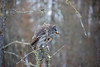 Great Gray Owl 36 (12-20-2017)
