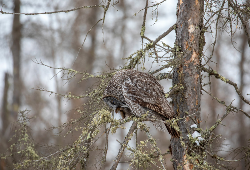 Great Gray Owl 77 (12-20-2017)