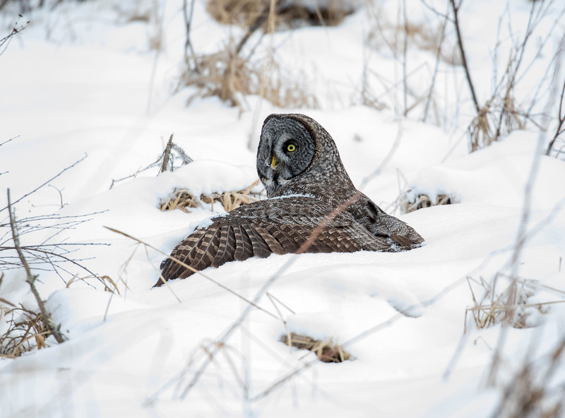 Great Gray Owl 44 (12-20-2017)