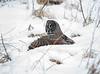 Great Gray Owl 44 (12-20-2017)
