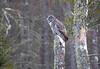 Great Gray Owl 55 (12-20-2017)