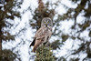 Great Gray Owl 10 (12-20-2017)