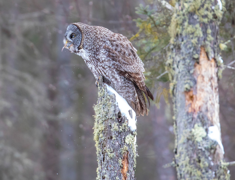 Great Gray Owl 56 (12-20-2017)