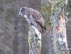Great Gray Owl 56 (12-20-2017)