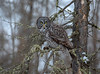 Great Gray Owl 76 (12-20-2017)