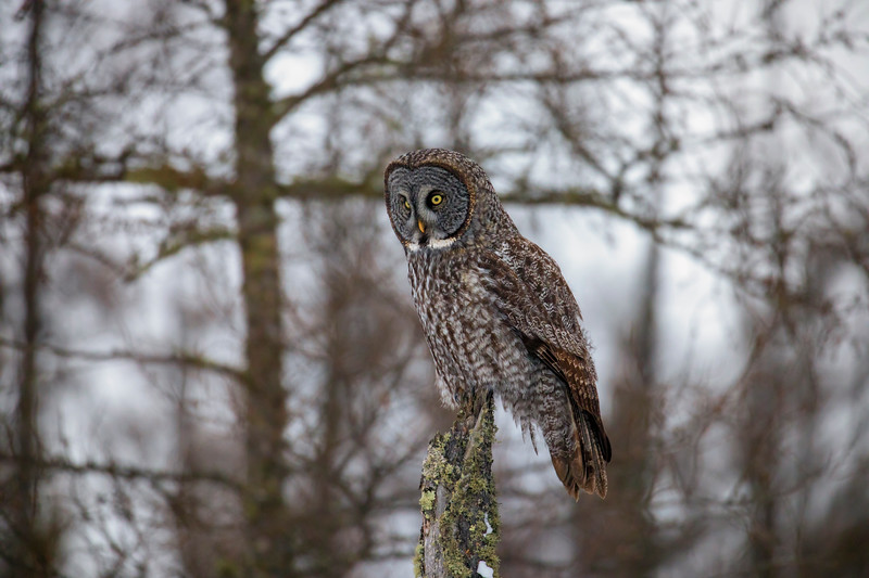 Great Gray Owl 64 (12-20-2017)