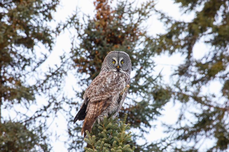 Great Gray Owl 9 (12-20-2017)