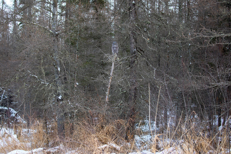 Great Gray Owl 4 (12-20-2017)