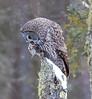Great Gray Owl 50 (12-20-2017)