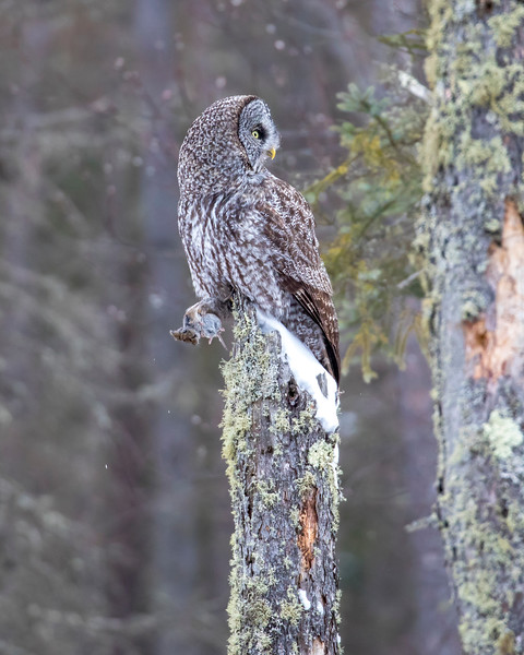 Great Gray Owl 45 (12-20-2017)