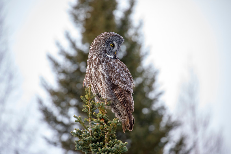 Great Gray Owl 16 (12-20-2017)