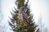 Great Gray Owl 16 (12-20-2017)