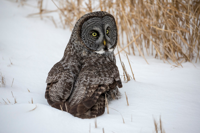 Great Gray Owl 59 (12-20-2017)