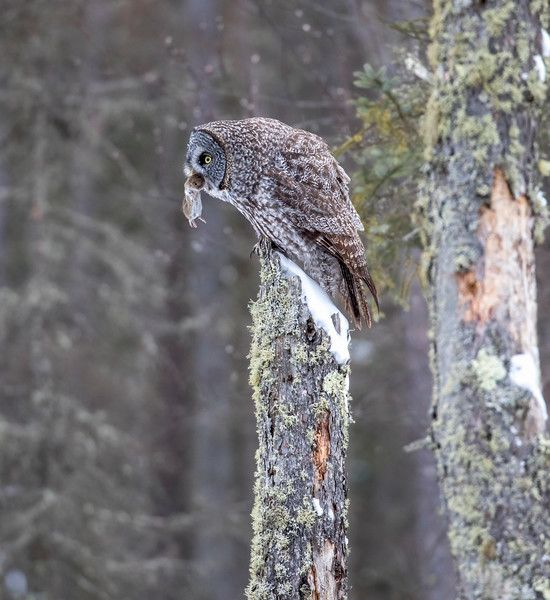 Great Gray Owl 48 (12-20-2017)