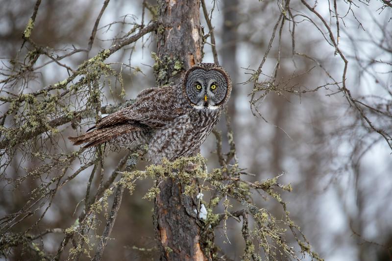 Great Gray Owl 73 (12-20-2017)