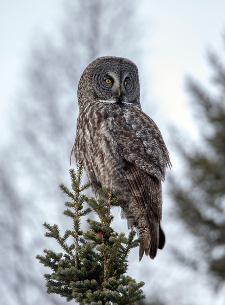 Great Gray Owl 14 (12-20-2017)
