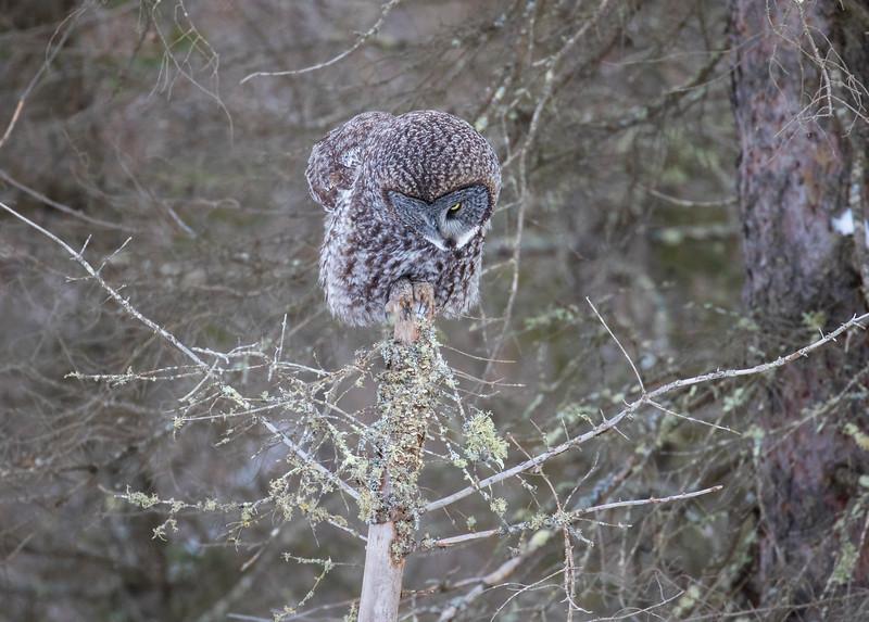 Great Gray Owl 25 (12-20-2017)
