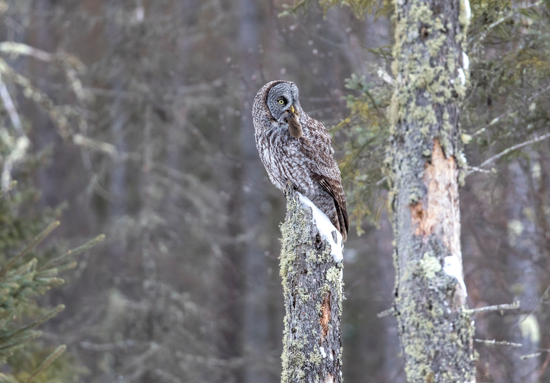 Great Gray Owl 47 (12-20-2017)