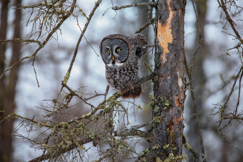 Great Gray Owl 83 (12-20-2017)