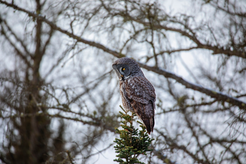Great Gray Owl 12 (12-20-2017)