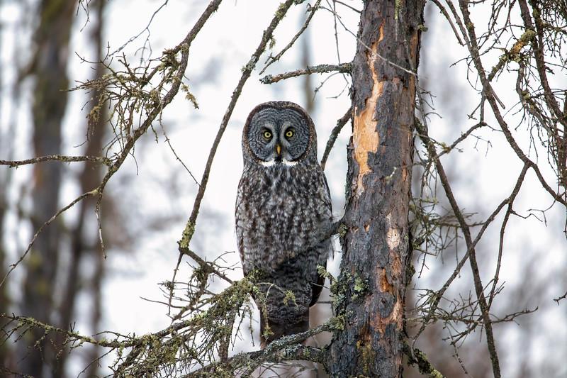 Great Gray Owl 78 (12-20-2017)