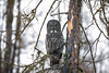 Great Gray Owl 78 (12-20-2017)
