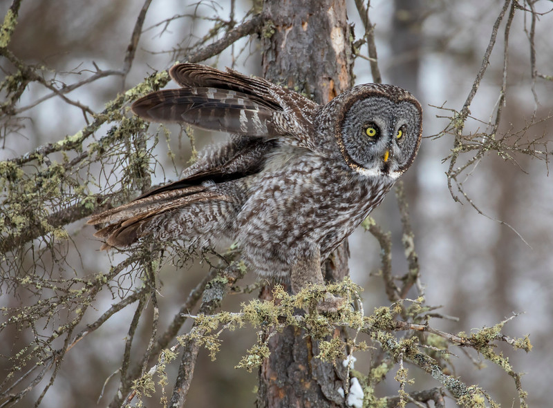 Great Gray Owl 70 (12-20-2017)