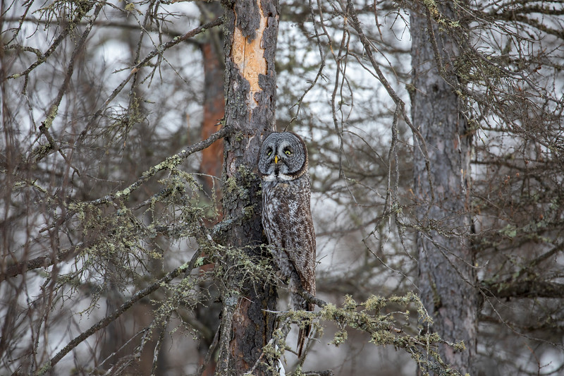 Great Gray Owl 68 (12-20-2017)