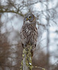 Great Gray Owl 62 (12-20-2017)