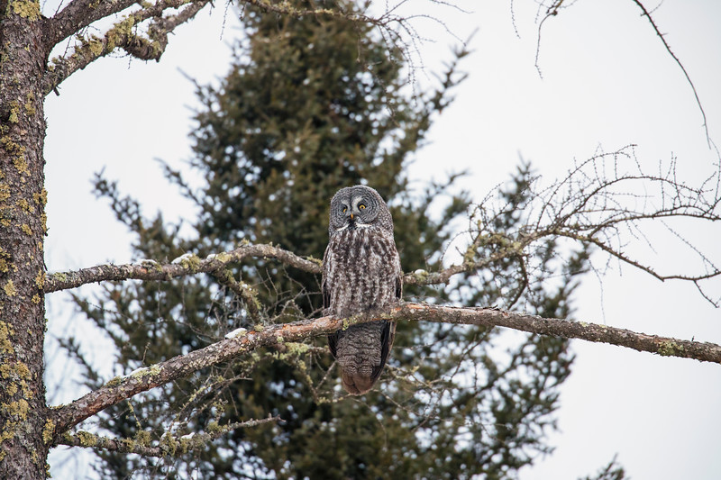 Great Gray Owl 8 (12-20-2017)