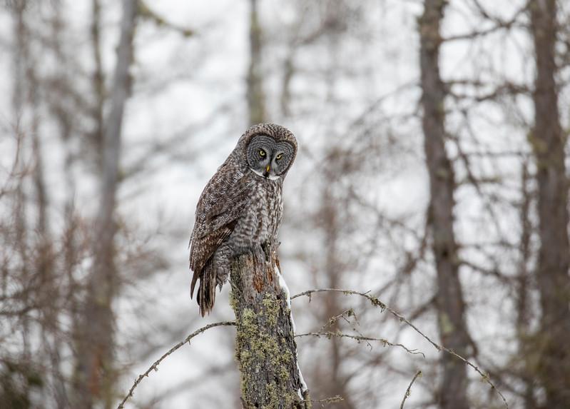 Great Gray Owl 40 (12-20-2017)