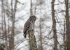 Great Gray Owl 40 (12-20-2017)