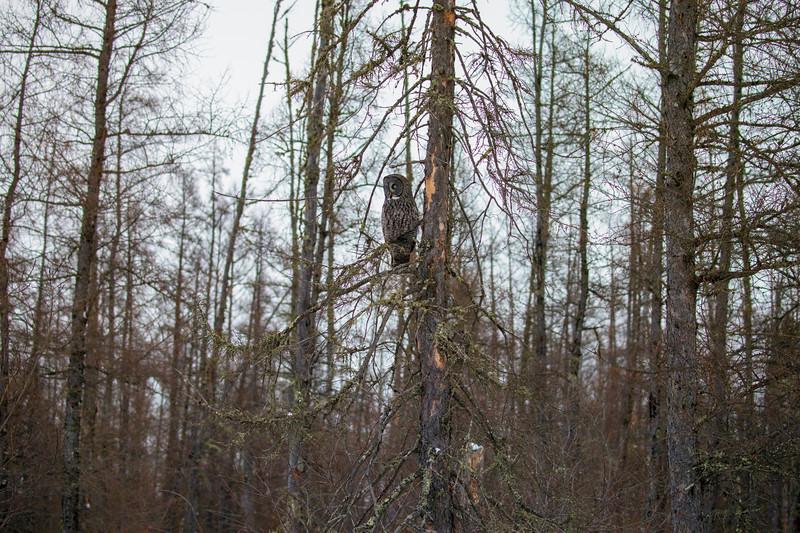 Great Gray Owl 7 (12-20-2017)