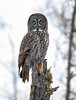 Great Gray Owl 32 (12-20-2017)