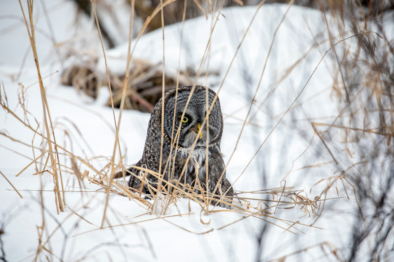 Great Gray Owl 34 (12-20-2017)