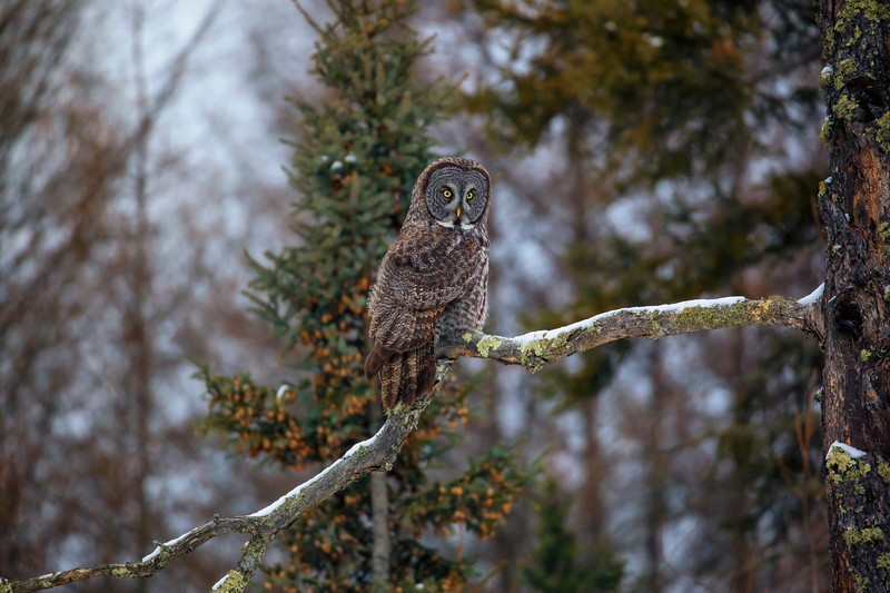 Great Gray Owl 84 (12-20-2017)